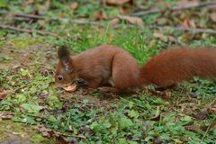 The squirrel climbs the tree and the grass. And hides the walnuts in the ground for the winter Stock Image