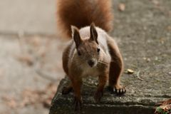 The squirrel climbs the tree and the grass. And hides the walnuts in the ground for the winter Royalty Free Stock Photos