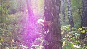 Squirrel climbs on a tree stock video footage