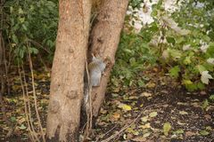 Squirrel climbs a tree trunk in the forest royalty free stock images