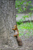 The squirrel climbs up in thr tree trunk Royalty Free Stock Images