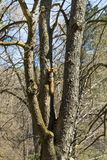 Squirrel climbs up the tree. Squirrel climbs the tree up, the forest in the spring Royalty Free Stock Photography