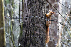 The squirrel climbs up the trunk of thick aspen Stock Images