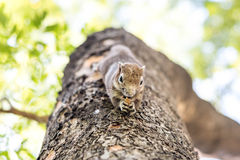 Squirrel clinging and eating nuts Stock Photo