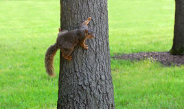 Squirrel clinging to tree Stock Image