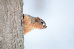 Squirrel clinging to a tree Royalty Free Stock Images