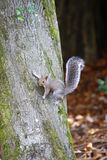 Squirrel clinging to a tree. Squirrel clinging to the side of a tree royalty free stock photo