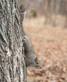 Squirrel clinging to tree Royalty Free Stock Photo