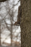 Squirrel clinging to tree Royalty Free Stock Photography