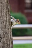 Squirrel Clings to Tree. Squirrel clings to bark of a tree in Cambridge, MA, USA Stock Photos