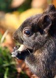 Squirrel Close Up Stock Photos