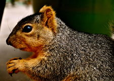 Squirrel close up. Shot on Nikon D5000, 18-55mm Stock Images