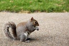 Squirrel close up Stock Image
