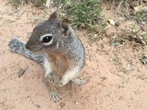 Squirrel. Close up squirrel chipmunk rodent wildlife outdoors Stock Images