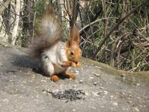 Squirrel close-up eats sunflower seeds on a summer sunny day. Royalty Free Stock Image