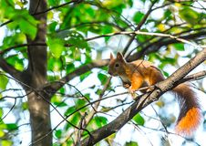 Squirrel close-up in the forest Stock Photography