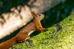 Squirrel close-up in the forest Royalty Free Stock Photos