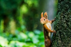 Squirrel close-up in the forest Royalty Free Stock Image