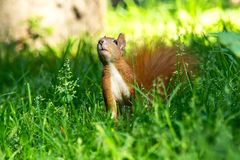 Squirrel close-up in the forest Royalty Free Stock Photography