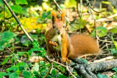 Squirrel close-up in the forest Royalty Free Stock Photo