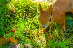 Squirrel close-up in the forest Royalty Free Stock Images