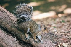 Squirrel Close up Royalty Free Stock Photography