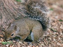 Squirrel Close up Royalty Free Stock Photo
