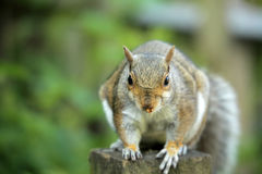 Squirrel close up Royalty Free Stock Photos