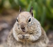 Squirrel Close Up royalty free stock images
