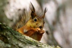 Squirrel close up Stock Images