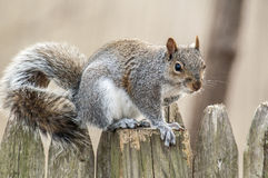 Squirrel 6639. A close up of a squirrel posed on a wooden fence Royalty Free Stock Photography
