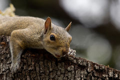 Squirrel closeup Royalty Free Stock Photo