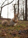 Squirrel closeup Stock Photos