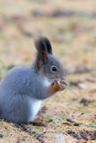 Squirrel closeup Royalty Free Stock Image