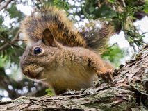 Squirrel closeup on a branch Stock Image