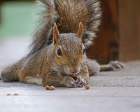 Squirrel closeup eating. Squirrel face forward with tail up as it eats a small pellet of food Stock Image