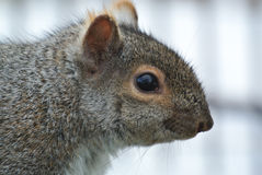 Squirrel closeup Royalty Free Stock Photo