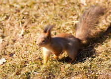 Squirrel closeup on grass background. Red squirrel closeup on grass background stock photos