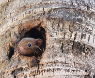 Squirrel. Closeup squirrel in a hole Royalty Free Stock Photography