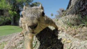 Squirrel Closeup Macro Royalty Free Stock Photography