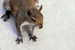 Squirrel closeup Royalty Free Stock Images
