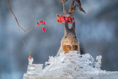 Squirrel in the cold Royalty Free Stock Photo