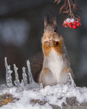 Squirrel in the cold Royalty Free Stock Photos