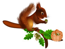 Squirrel collects acorns. Royalty Free Stock Photography