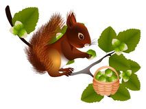 Squirrel collects hazelnuts. Royalty Free Stock Photography