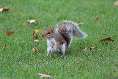 Squirrel comer Imagens de Stock