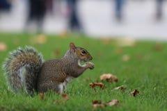 Squirrel comer Fotografia de Stock Royalty Free