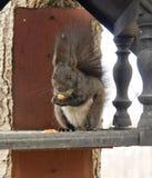 Squirrel comer Fotografia de Stock