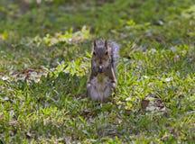 Squirrel comer Imagem de Stock