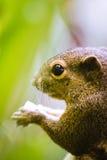 Squirrel comer Imagem de Stock Royalty Free